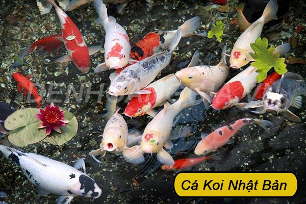 Cá Koi cảnh